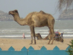 2 Camel on the Beach
