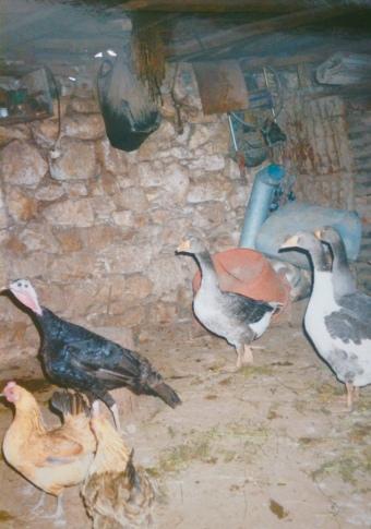 Aisha poultry